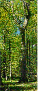 Eg fra 1835 i Grib Skov