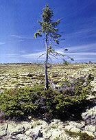 Verdens ældste træ vokser i Sverige.