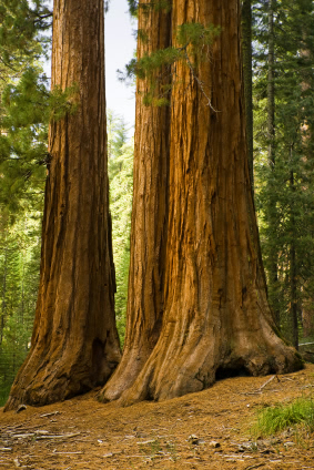 Sequoia sempervirens (Foto: Istockphoto)