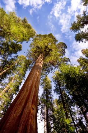 Sequoia sempervirens Foto:Istockphoto