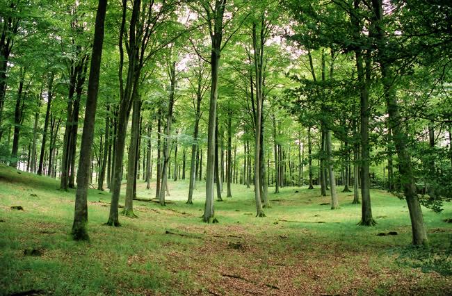 Bøg i skoven