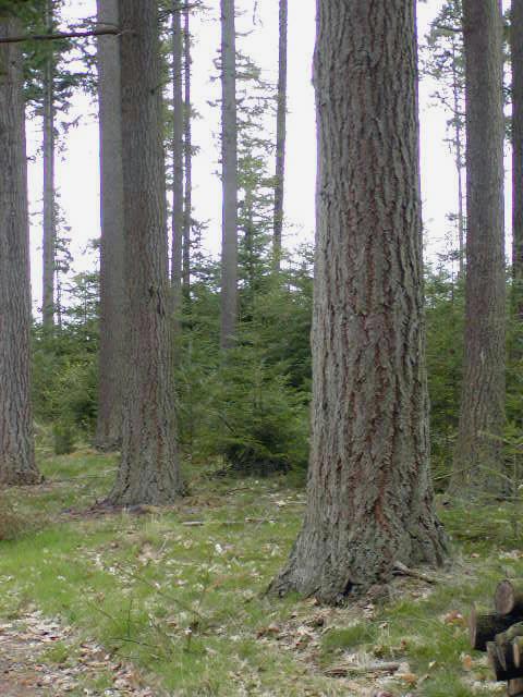 douglas træ behandling