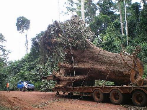 En af de store trærødder fragtes på lastbil igennem skoven (foto: www.ghostforest.org)