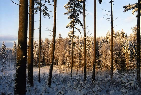Rødgran i Rude Skov.
