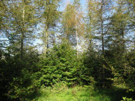 Ammetræer af lærk beskytter bøgetræer