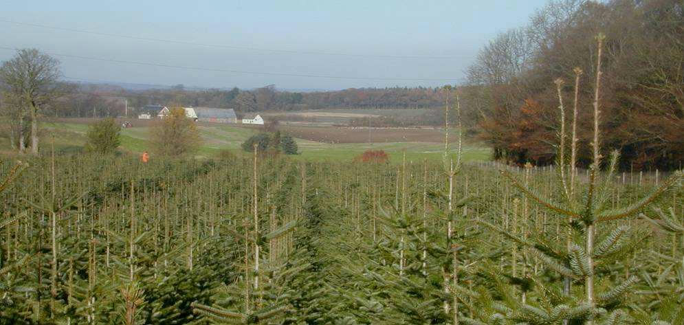Mark med juletræer - foto: Skov og Landskab