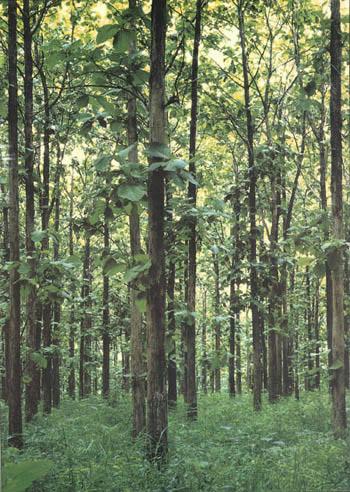 Teaktræsplantage