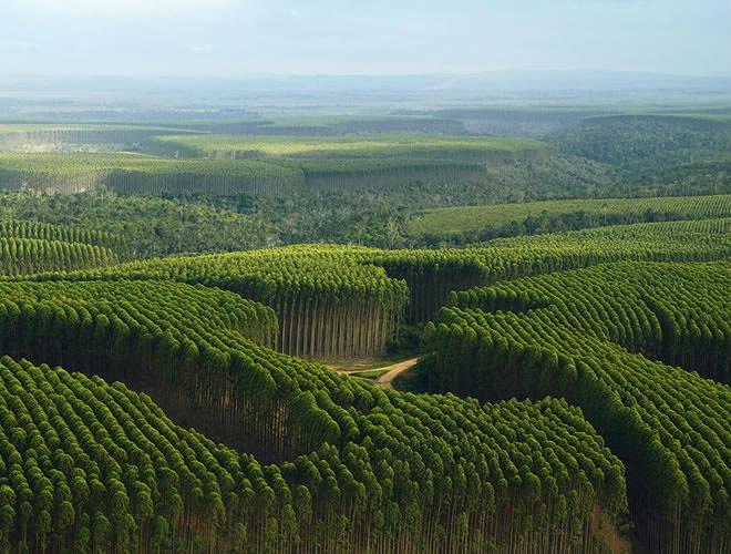 Brasilien - Eucalyptusplantage
