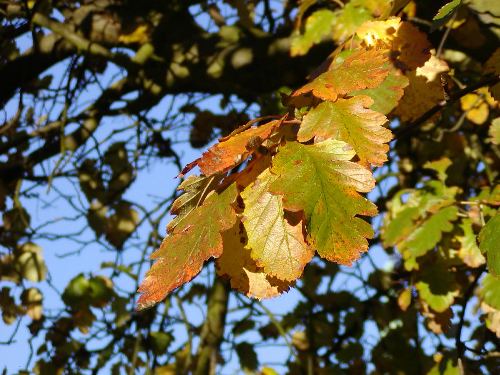 Seljerøn i efterårsfarver