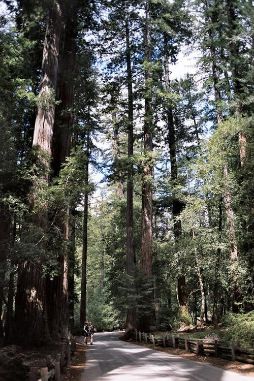 Redwood i Big Basin Redwoods State Park