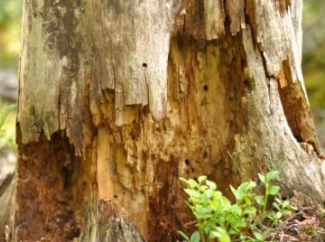 Nedbrudt træ