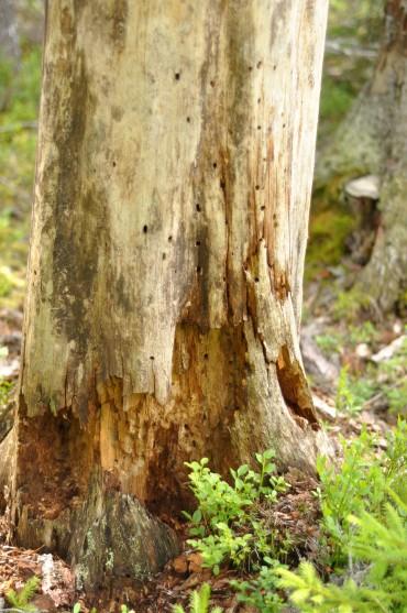 Træ i forrådnelse