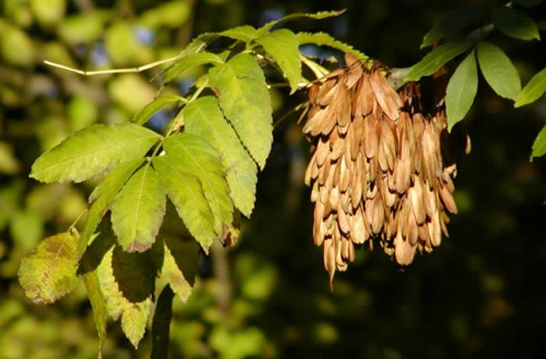 Askens frugter spredes med vinden. Om sommeren er vingen grøn og om efteråret bliver den brun som vist på billedet. De brune frugter bliver siddende om vinteren (foto: Janne Bavnhøj)