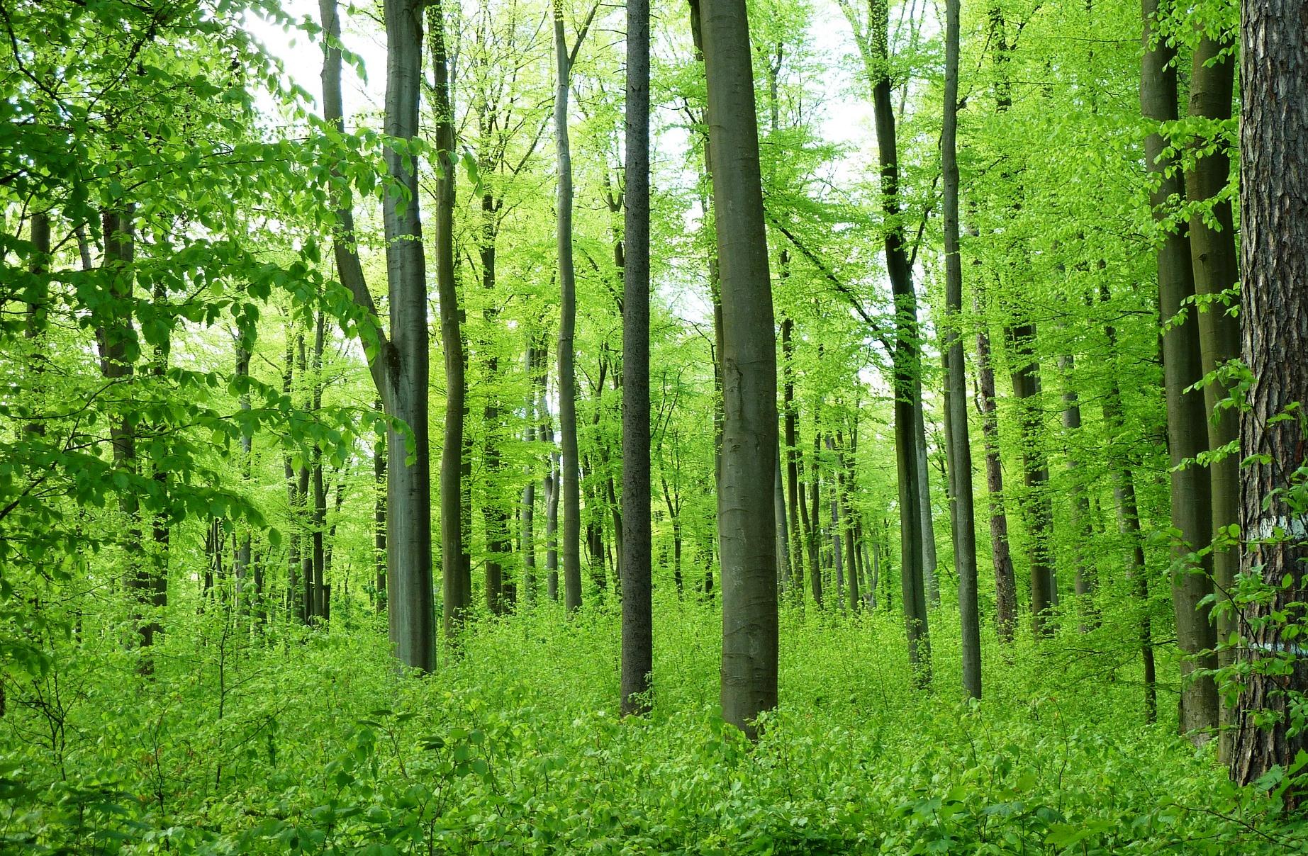 I skovdyrkning er bøgens nedre grene skygget væk.