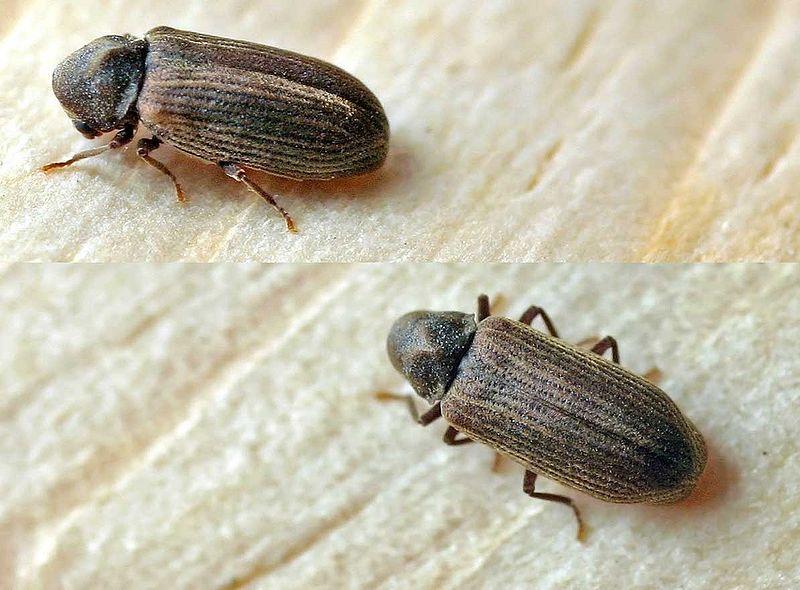 På billedet ses 2 almindelige borebiller (Foto: er venligst udlånt af Entomart, og vedkommende skal krediteres herfor ved anden anvendelse)