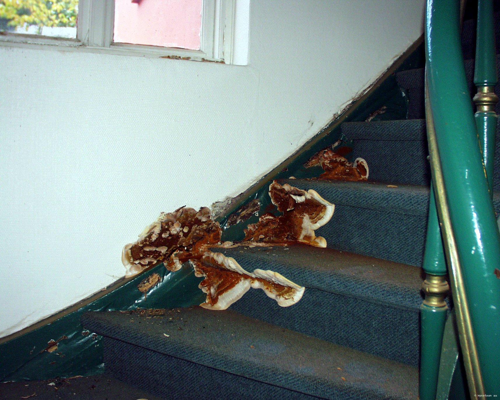 Et eksempel på angreb af hussvamp (Foto: Venligst udlånt af Mycoteam AS)