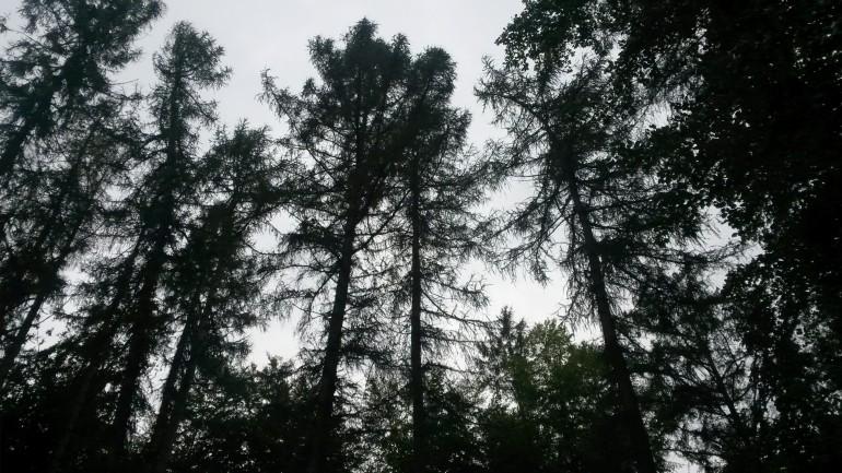 Siluet af lærktræer