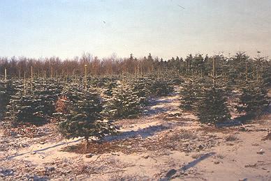 juletræsplantage