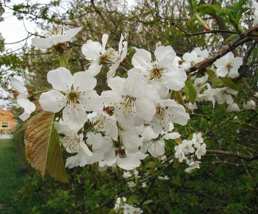 fuglekirsebær blomst