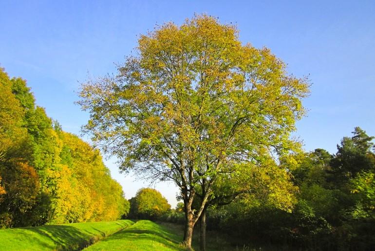 Asketræ med kerne