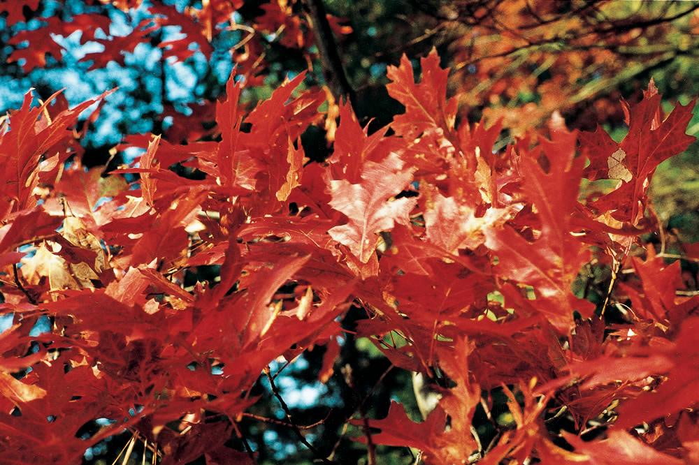 Rødegen er kendt for de smukke efterårsfarver.