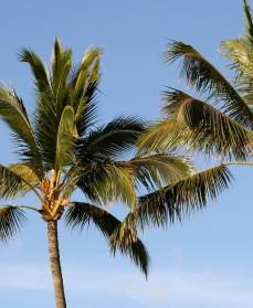 Palmetræer