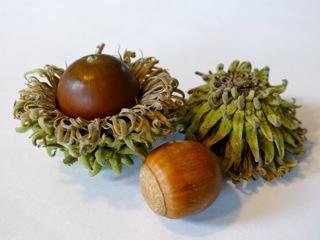 Quercus_acutissima_agern