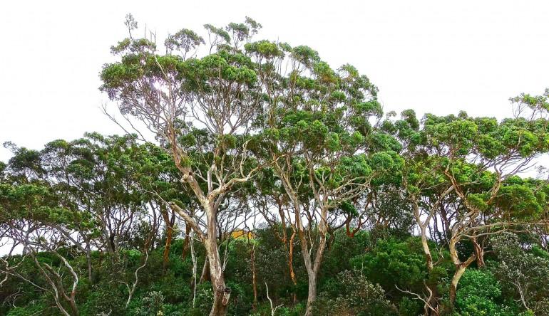 Tasmanske træer