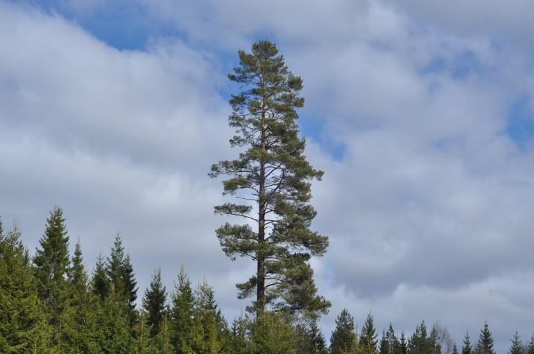 Gammel fyr der rager op over resten af skoven
