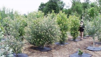 Styring af træers højdevækst
