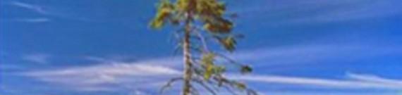 Verdens ældste træer var også de mest komplekse - Træ.dk