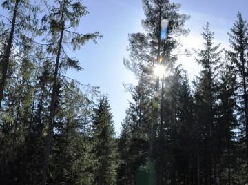 verdens ældste træ