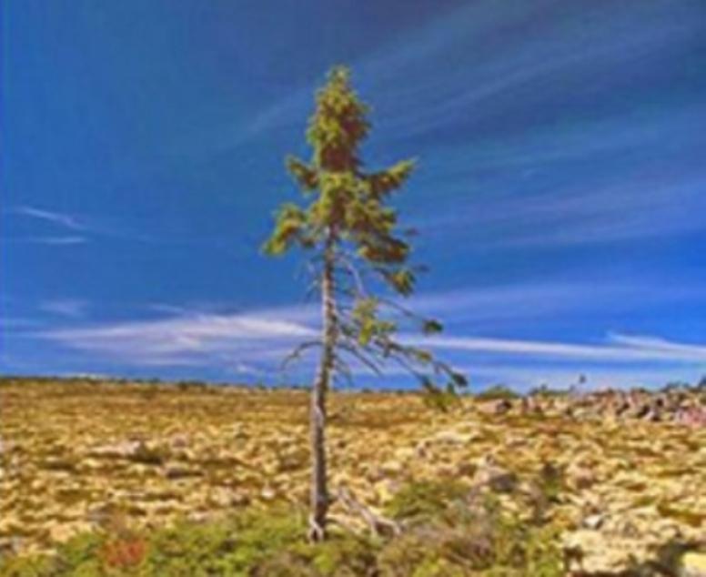 verdens ældste træ - Træ.dk