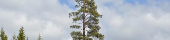 Hvor højt kan et træ blive