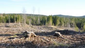 Fældet nåletræsbevoksning