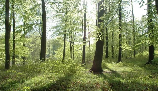 påvirkes de danske bøgetræer af klimaforandringer