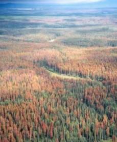 Skovdød i Canada - Bille går til angreb