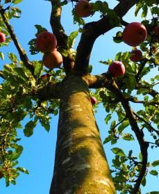 æbletræets stamme og frugter