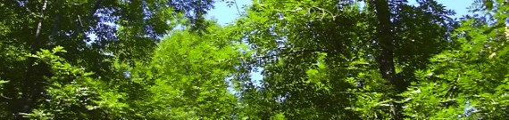 Dødelig sygdom truer askeskoven