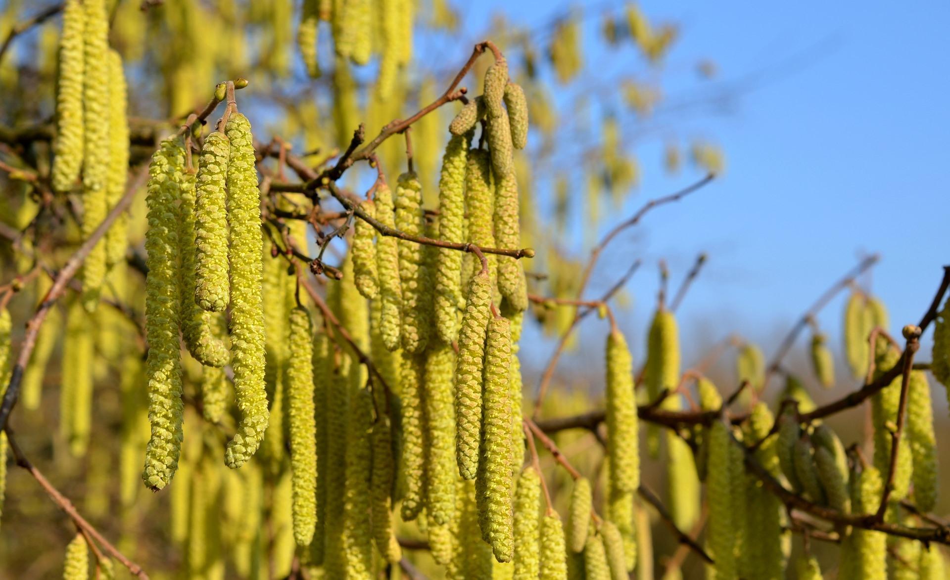 Pollen fra bl.a. hasseltræet, kan bæres af vinden i afstande på over 50km