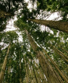 Mere energitræ i danske skove