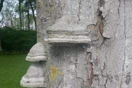 Svamp på træ - risikotræ