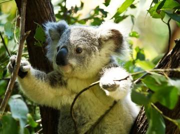 koala i træ
