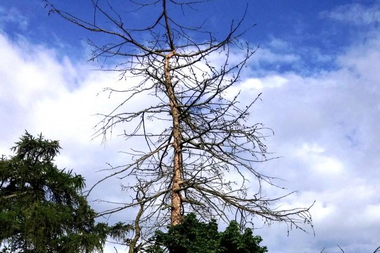 Er dødt lærketræ farligt