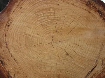 CT-scanning af træ