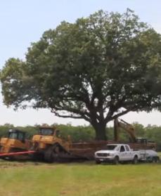 At flytte et egetræ