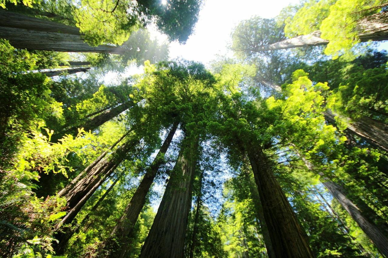 Træer der ikke bliver så høje
