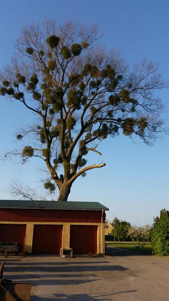 Asketræ med mistelten