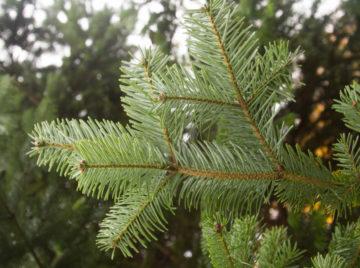 Den nye type plastik er lavet på pinen, der udvindes af nåletræer.